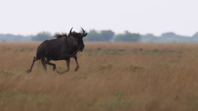 vídeos de stock e filmes b-roll de wildebeest (connochaetes taurinus) pronks on savannah, zambia - savana
