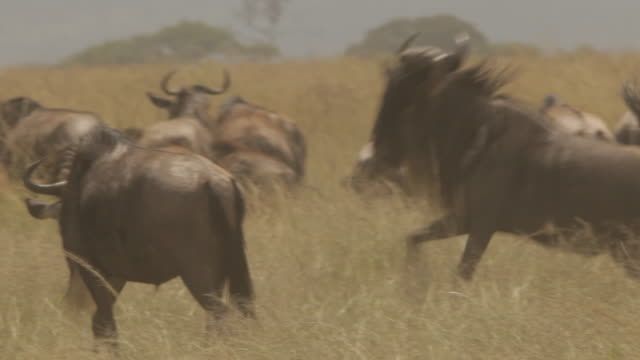 Wildebeest run amongst their herd, Tanzania.