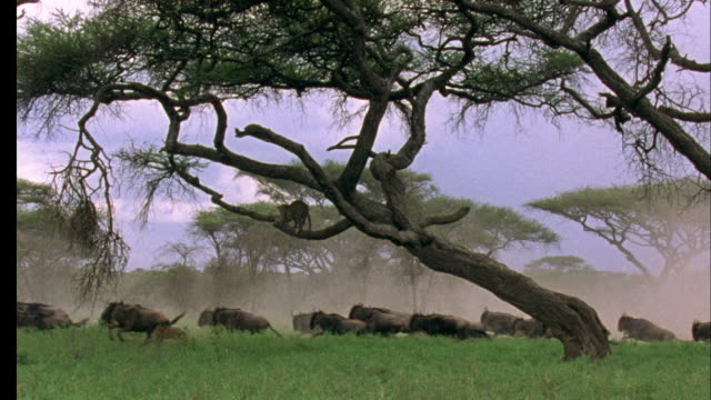 Wildebeest run past tree, Leopard watches from branch in tree, Tanzania Available in HD.