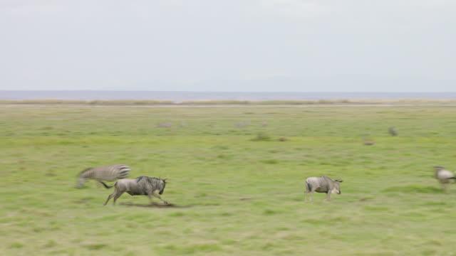 MS PAN Wildebeest running on savanna landscape / Kenya