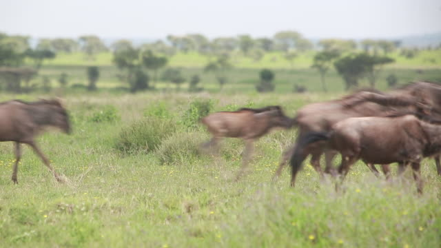 wildebeest running - group of animals stock videos & royalty-free footage