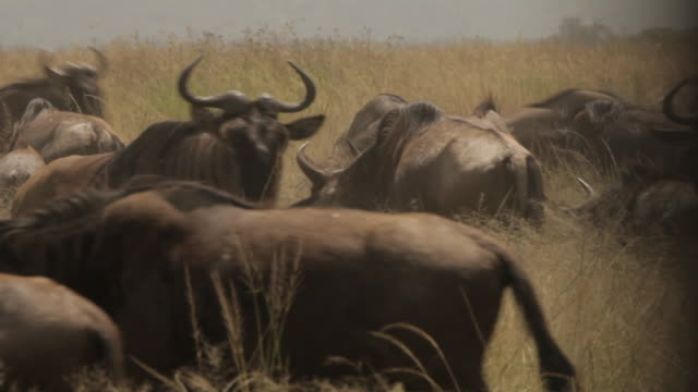 a wildebeest runs towards the camera in a zig-zag direction amongst its herd, tanzania. - zigzag stock videos & royalty-free footage