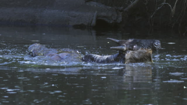 slomo  ms wildebeest standing in river as nile crocodile attacks its body  - crocodile stock videos & royalty-free footage