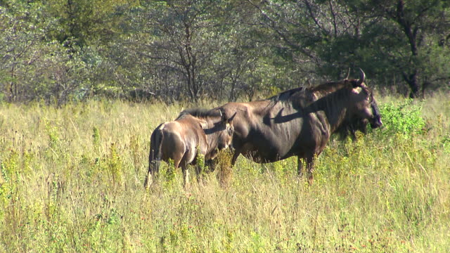MS PAN Wildebeest standing in veld at Entabeni Private Game Reserve / Limpopo, South Africa