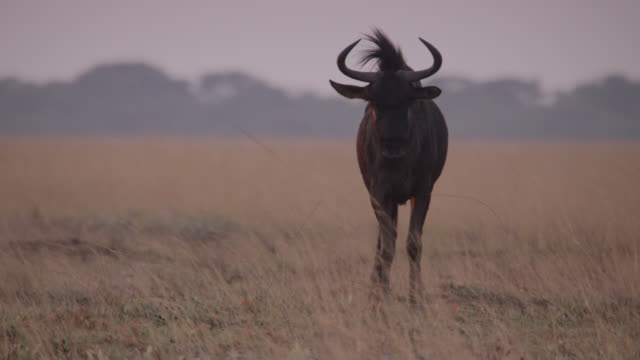 wildebeest (connochaetes taurinus) stands on savannah, zambia - one animal stock videos & royalty-free footage