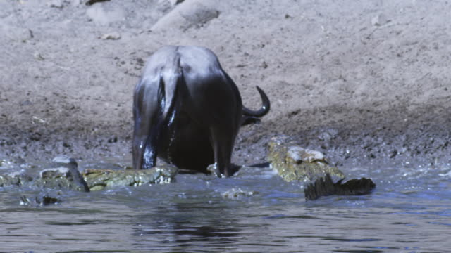 slomo ms wildebeest struggles to escape as nile crocodiles attack and it sits in river shallows - ambush stock videos and b-roll footage