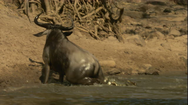 A wildebeest struggles to escape from a Nile crocodile as it clenches onto its leg. Available in HD.