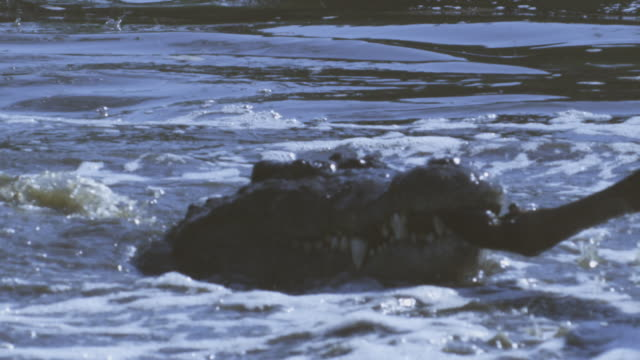 SLOMO CU Wildebeest struggling with Nile Crocodile gripping its hoof and pulling it underwater