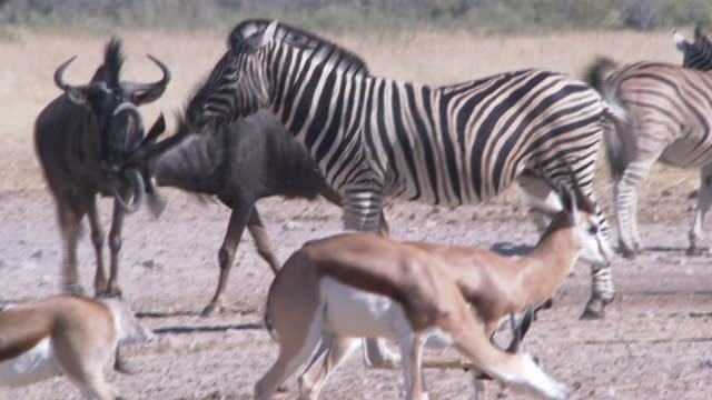 a wildebeest trots into a herd of zebras and springbok. available in hd. - biodiversity stock videos & royalty-free footage