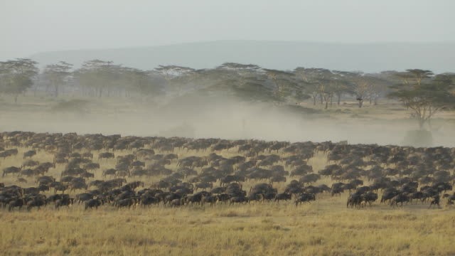 wildebeest - wildebeest stock videos & royalty-free footage