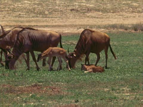 wildebeest - artbeats stock-videos und b-roll-filmmaterial