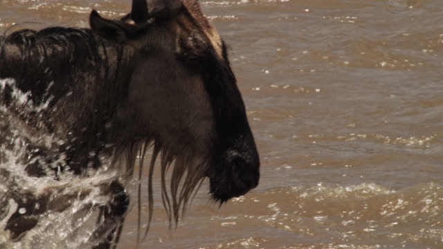 wildebeest (connochaetes taurinus) wades and splashes during river crossing, kenya - wildebeest stock videos & royalty-free footage