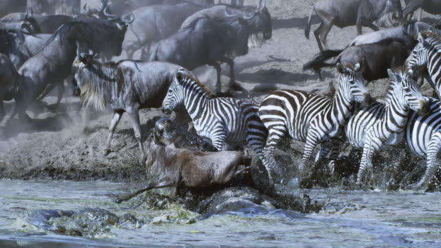 SLOMO Wildebeest walks in river up to submerged Nile crocodile which grabs it and drags it off as the herd runs away