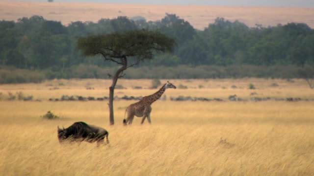 ms, wildebeests (connochaetes taurinus) and giraffe (giraffa camelopardalis) in savanna, masai mara, kenya - grass area stock videos and b-roll footage