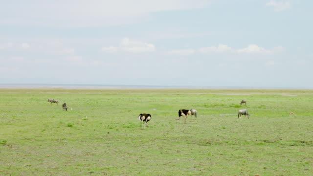 ws wildebeests and ostrich grazing grass / kenya - flightless bird stock videos & royalty-free footage