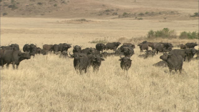 wildebeests graze on savanna scrub grass near foothills. - foothills stock videos & royalty-free footage
