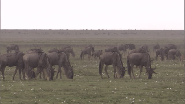 wildebeests graze on savannah in the rain. available in hd. - grazing stock videos & royalty-free footage