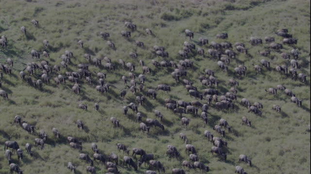 Wildebeests migrate across the plains of Masai Mara, Kenya. Available in HD.
