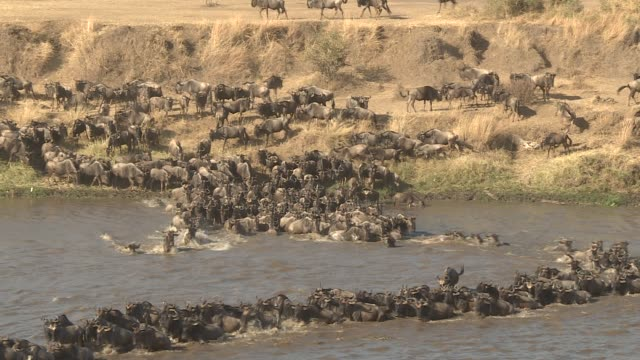 wildebeests on their annual migration across the african plains crossing a river serengeti / masaai mara - wildebeest stock videos & royalty-free footage