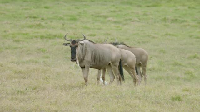 MS Wildebeests standing on savanna landscape / Kenya