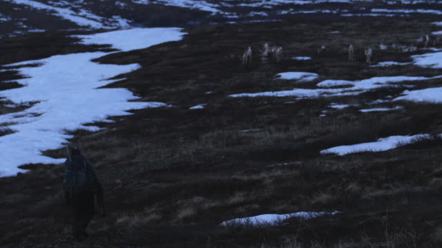 wilderness photographer approaches porcupine caribou herd - bronx zoo stock-videos und b-roll-filmmaterial