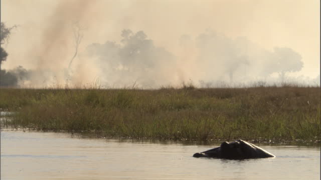 A wildfire burns through grasses near a hippo floating in a river. Available in HD.