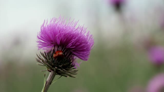 wildflower and ladybug. springtime field flowers blooming in purple and violet colors, nature is waking up. - thistle stock videos & royalty-free footage