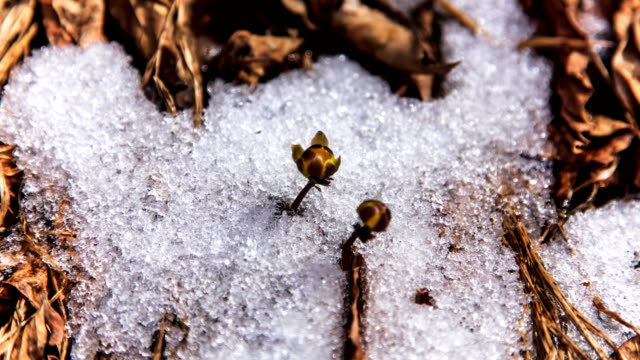 wildflower (adonis amurensis) blooming in snow in gangwon-do, south korea - brina acqua ghiacciata video stock e b–roll