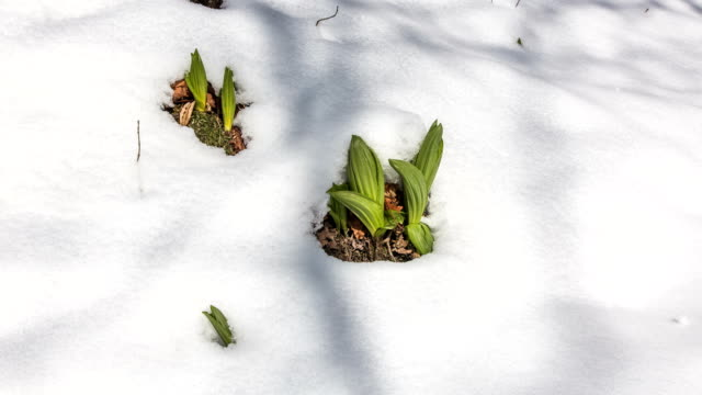 wildflower in snow in gangwon-do, south korea - frost stock videos & royalty-free footage