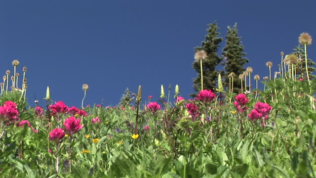 cu, wildflower meadow against clear sky, mount rainier national park, washington, usa - wildflower stock videos & royalty-free footage