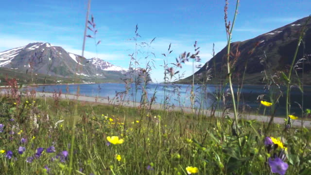 wildflower meadow at sea and mountains in northern norway - meadow stock videos & royalty-free footage
