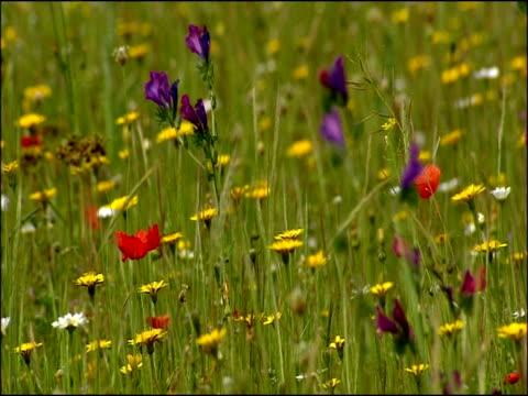 wildflower meadow with poppies, dandelions (taraxacum sp.) and daisies, parque natural los alcornocales (cadiz y malaga), andalucia, spain - parque natural stock videos and b-roll footage