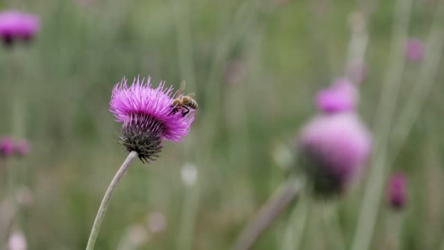 wildflowers and bees. springtime field flowers blooming in purple and violet colors, nature is waking up. - thistle stock videos & royalty-free footage