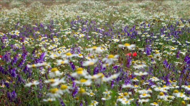 vidéos et rushes de wildflowers and daisies wave in the wind in a meadow. - marguerite