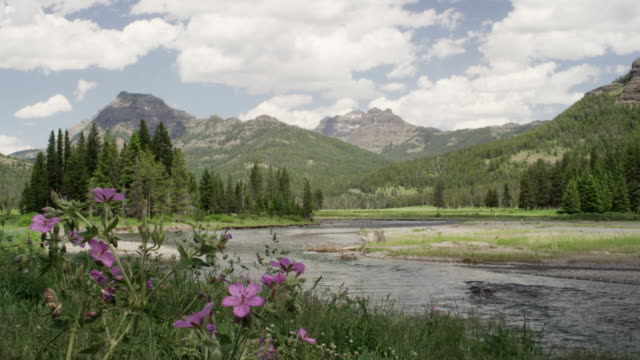 wildflowers and river in yellowstone national park - yellowstone river stock videos and b-roll footage