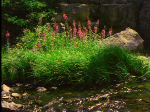 vídeos de stock, filmes e b-roll de wildflowers at edge of stream / yellowstone national park, wyoming - 2001