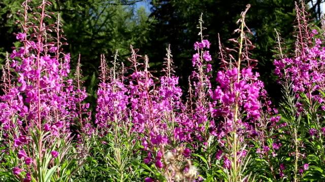 wildflowers, bees and hornets - bukettranunkel bildbanksvideor och videomaterial från bakom kulisserna