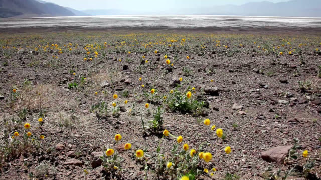 wildflowers in death valley - wildflower stock videos and b-roll footage