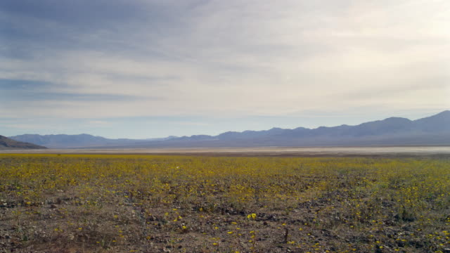 wildflowers in death valley - death valley national park stock videos & royalty-free footage