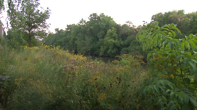 wildflowers near river with cicadas buzzing at horner park on september 12, 2013 in chicago, illinois - ブンブン鳴る点の映像素材/bロール