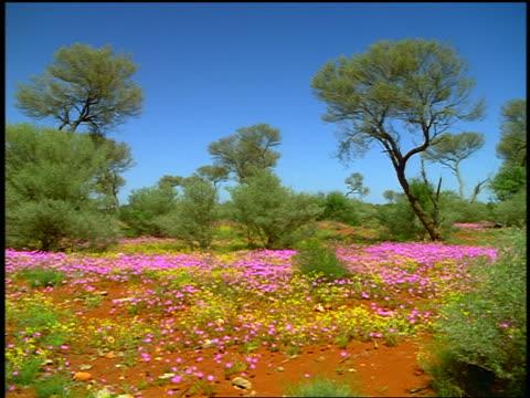 wildflowers, red earth + desert oak trees in australian bush / south australia - wildflower stock videos & royalty-free footage