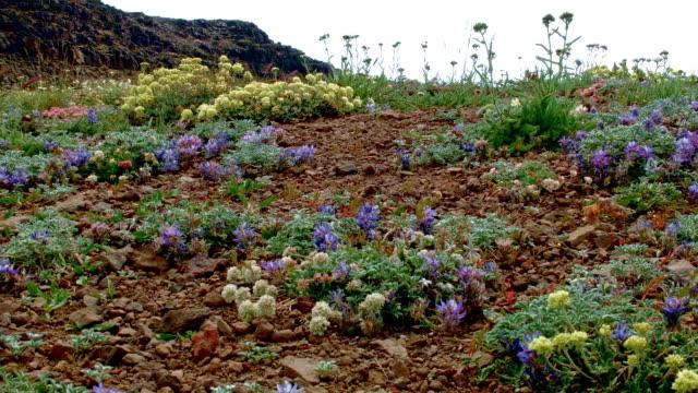 Wildflowers Summit Steens Mountain Near Malhuer Wildlife Refuge 8