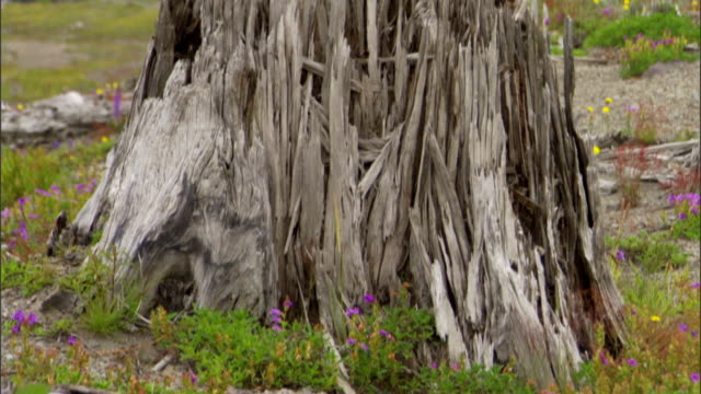 wildflowers surround a dead tree trunk on a mountainside. - tree stock videos & royalty-free footage