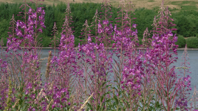 wildflowers swaying in the wind in south west scotland - wildflower stock videos & royalty-free footage