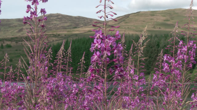 wildflowers swaying in the wind in south west scotland - galloway scotland stock videos & royalty-free footage