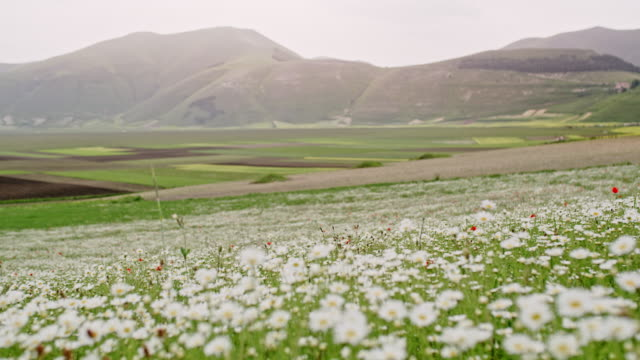 ws wildflowers swaying in tranquil breeze in mountain valley, castelluccio, umbria, italy - wildflower stock videos & royalty-free footage
