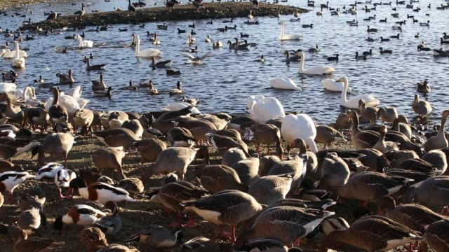 wildfowl, ducks,swans and geese feeding at martin mere a wildfowl and wetlands trust bird reserve near southport, lancashire, uk. - southport england stock videos & royalty-free footage