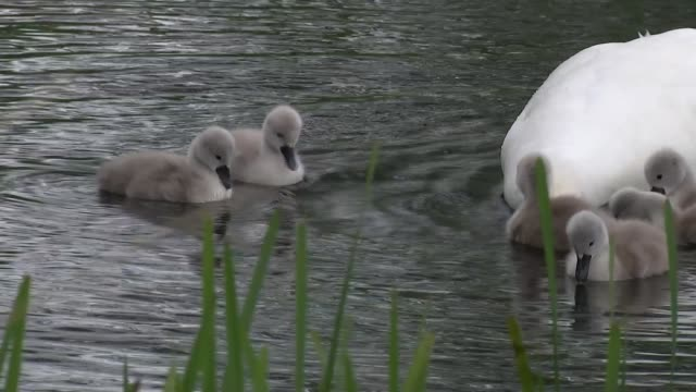 wildlife across the world declining at 'unprecedented' rate un warns england london london wetland centre ext general views of swan with baby swans... - water bird stock videos & royalty-free footage