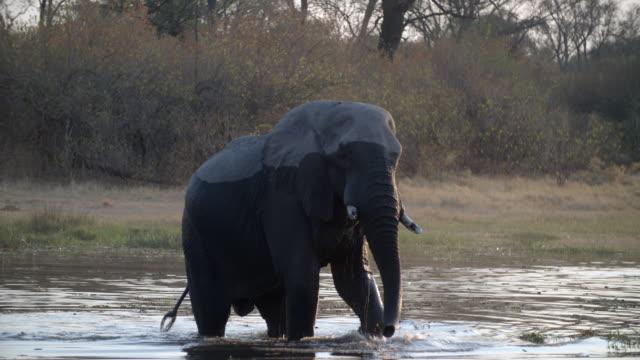 wildlife and scenics, botswana - walking in water stock videos & royalty-free footage