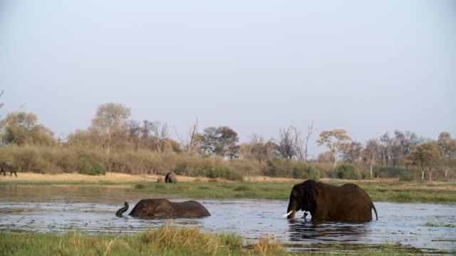 wildlife and scenics, botswana - due animali video stock e b–roll